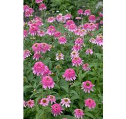 Echinacea purpurea ´Razzmatazz´- Třapatka nachová, K14
