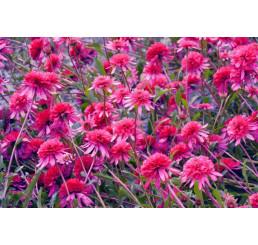 Echinacea purpurea ´Southern Belle (R)´ / Třapatka, C2