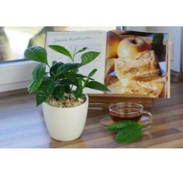 BIO Camelia sinensis / Čínsky čajovník pravý, 10-15 cm, K12
