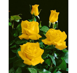Rosa ´Casanova´ / Růže čajohybrid žlutá, keř, BK