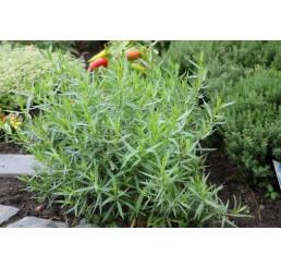 BIO Artemisia dracunculus / Francouzský estragon, K12