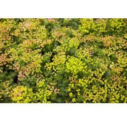 Euphorbia seguieriana ssp. Niciciana´ / Pryšec sivý, C1