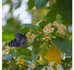 Evodia hupehensis / Včelí strom, Evodia, C2