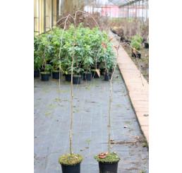 Fagus sylvatica ´Purpurea Pendula´ / Buk lesní převislý purpurově červený, 120-150 cm, C3