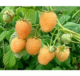 Rubus idaeus ´Fallgold´ / Malina žlutá, C2