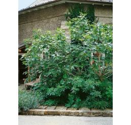 Ficus carica ´Turca´ / Černoplodý fíkovník, 100-120 cm, C7