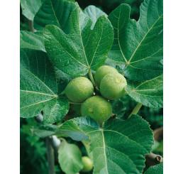 Ficus carica ´Verdino´ / Fíkovník , 100-120 cm, C7