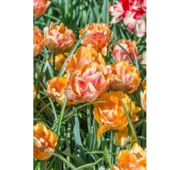 Tulipa ´Foxy Foxtrot´ / Tulipán, bal.5 ks, 11/12