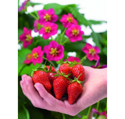Fragaria ´Toscana® ´ / Stéleplodící jahodník s růžovými květy, K11