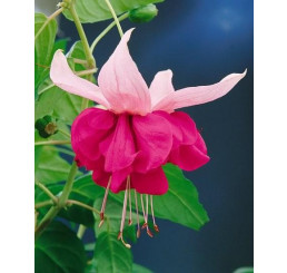 Fuchsia ´Seventh Heaven´/ Fuchsie, K7