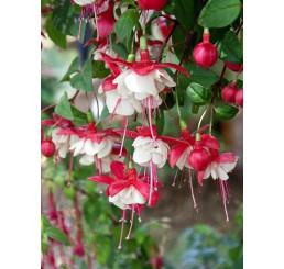 Fuchsia ´Sir Matt Busby´/ Fuchsie, bal. 3 ks, 3xK7
