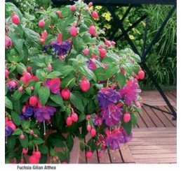 Fuchsia ´Gilian Althea´ / Fuchsie vzpřímená fialová, bal. 3 ks, 3x K7