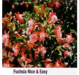 Fuchsia ´Nice & Easy´ / Fuchsie vzpřímená růžová, bal. 6 ks sadbovačů