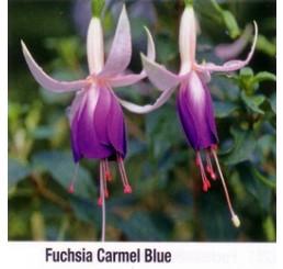 Fuchsia ´Carmel Blue´ / Fuchsie převislá fialová, bal. 3 ks, 3x K7