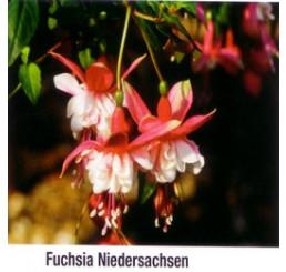 Fuchsia ´Niedersachsen´ / Fuchsie převislá růžová, K7