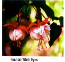 Fuchsia ´White Eyes´ / Fuchsie převislá, bal. 6 ks sadbovačů