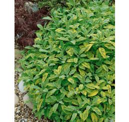 Salvia officinalis ´Aurea´ / Šalvěj lékařská , K9