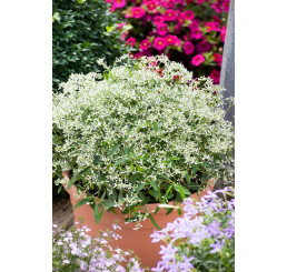 Euphorbia hypericifolia ´pac®Mont Blanc´ / Pryšec třezalkovolistý, bal. 6 ks, 6x K7