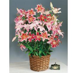 Lilium Orientalis mix / Kolekce vonících orientálních lilií, bal. 9 ks, 14/16