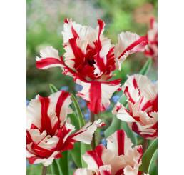 Tulipa ´Estella Rijnveld´ / Tulipán, bal. 5 ks, 11/12