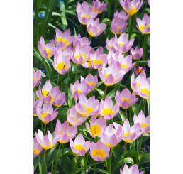 Tulipa ´Bakeri Lilac Wonder´ / Tulipán, bal. 5 ks, 6/+