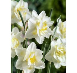 Narcis ´White Lion´, bal. 5 ks, 16/18