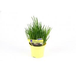 Allium schoenoprasum / Pažitka pobřežní, K9