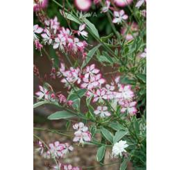 Gaura lindheimeri 'Geyser Pink' / Gaura , K9