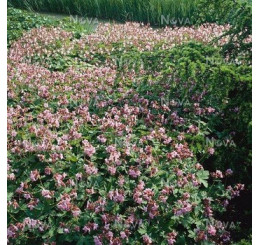 Geranium macrorrhizum ´Ingwersens´/ Kakost oddenkatý fialovorůžový, C1,5