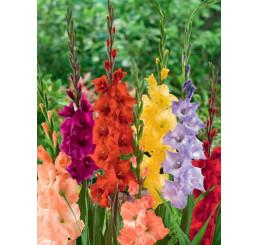 Gladiolus mix / Směs mečíků, bal. 60 ks, 12/14