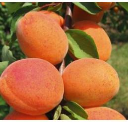 Prunus armeniaca ´Goldrich´ / Meruňka středně raná, montclar