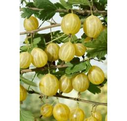 Ribes grossularia ´Lady Sun´ / Angrešt rezistentní žlutý, keř, C2
