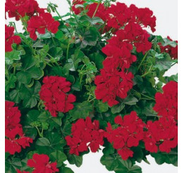Pelargonium pelt. Happy Face® Velvet Red® / Muškát převislý, bal. 6 ks, 6x K7