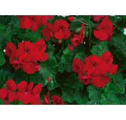 Pelargonium pelt. Happy Face® Red® / Muškát převislý, bal. 6 ks sadbovačů