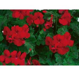 Pelargonium pelt. Happy Face® Velvet Red® / Muškát převislý, bal. 6 ks sadbovač.