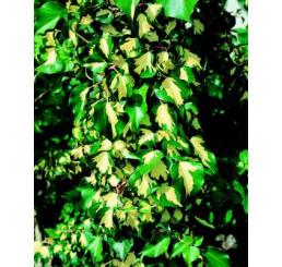 Hedera helix ´Gold Heart´ / Břečťan popínavý, 20 - 30 cm, K9
