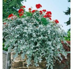 Helichrysum petiolare ´Silver´ / Smil řapíkatý, bal. 6 ks sadbovač.