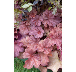 Heuchera x hybrida ´Berry Smoothie´ / Dlužicha, C1