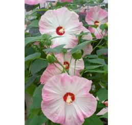 Hibiscus moscheutos ´Nippon Blush F1´ / Ibišek růžový, K9