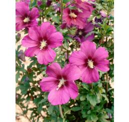 Hibiscus syriacus ´RussianViolet´ / Ibišek syrský, 30-40 cm, C4