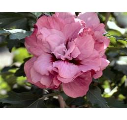 Hibiscus syriacus ´Duc de Brabant´ / Ibišek syrský, 40-50 cm, C3