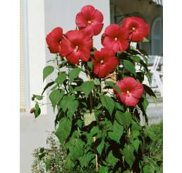 Hibiscus moscheutos ´Nippon Red F1´ / Ibišek červený, K9