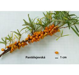 Hippophae rhamnoides ´Pantelejevská´ / Rakytník řešetlákový, samičí r., 30-40 cm, K9