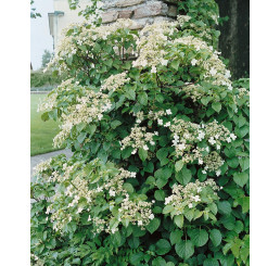 Hydrangea anomala petiolaris / Popínavá hortenzie, K9