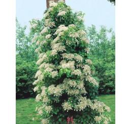 Hydrangea anoma. (petiolaris) / Hortenzie popínavá, 30-40 cm, C2/C3