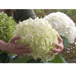 Hydrangea arborescens ´Strong Annabelle´® / Hortenzie stromečková, C3