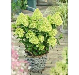 Hydrangea paniculata ´Little Lime´® / Hortenzie latnatá, 25 cm, C3