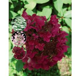 Hydrangea paniculata ´Wims Red´® / Hortenzie latnatá, C3