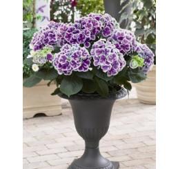 Hydrangea bicolor ´Tivoli´/ Hortenzie dvoubarevná, 20-30 cm, K12