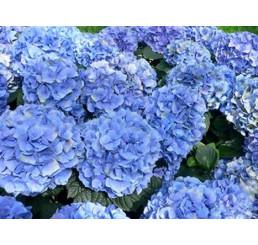 Hydrangea ´Endless Sommer´ / Hortenzie, C3